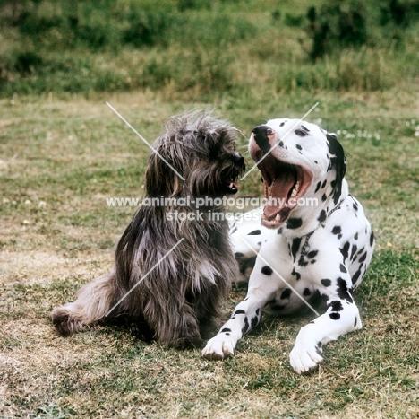 dalmatian yawning with cross bred dog watching
