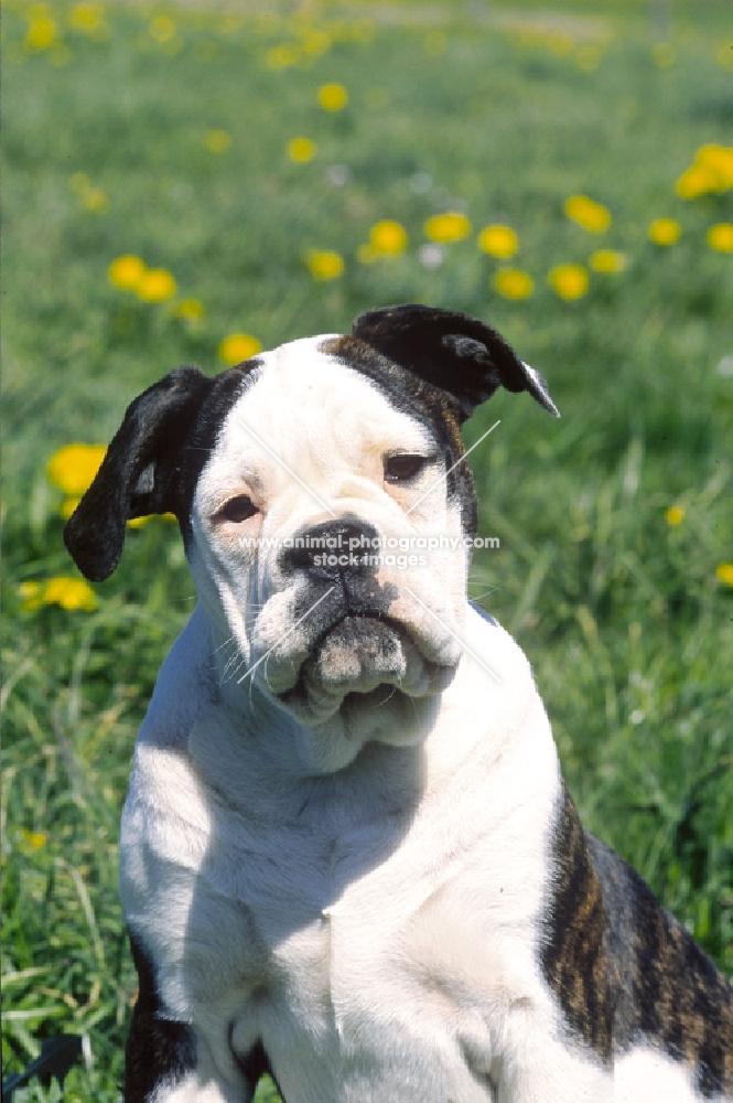 Olde English Bulldogge portrait