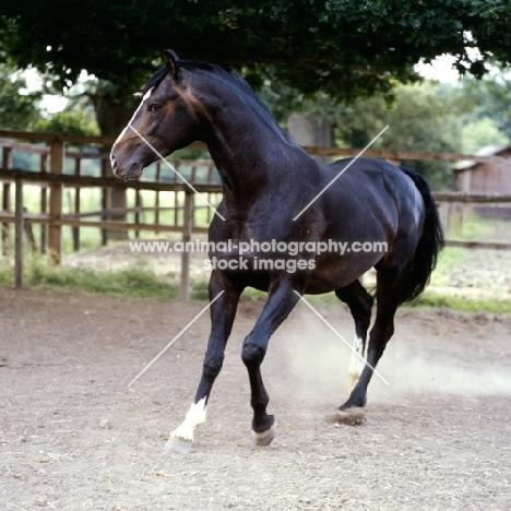 hanoverian horse, atlanta in his paddock