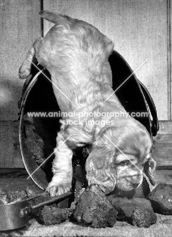 English Cocker Spaniel puppy smelling coal