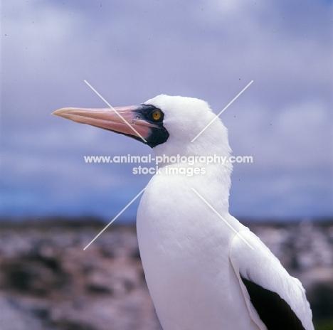 masked booby portrait, hood island, galapagos islands
