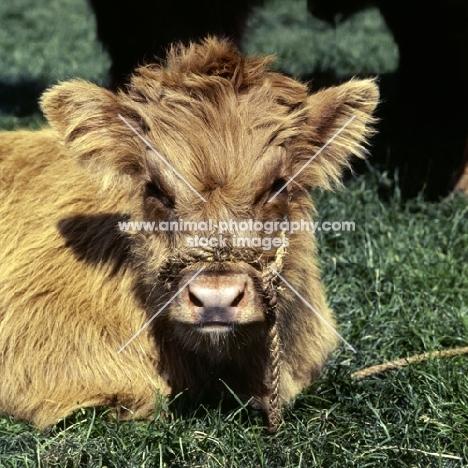 highland calf lying on grass