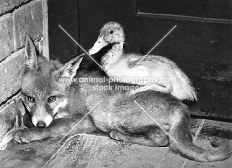 duckling resting on fox