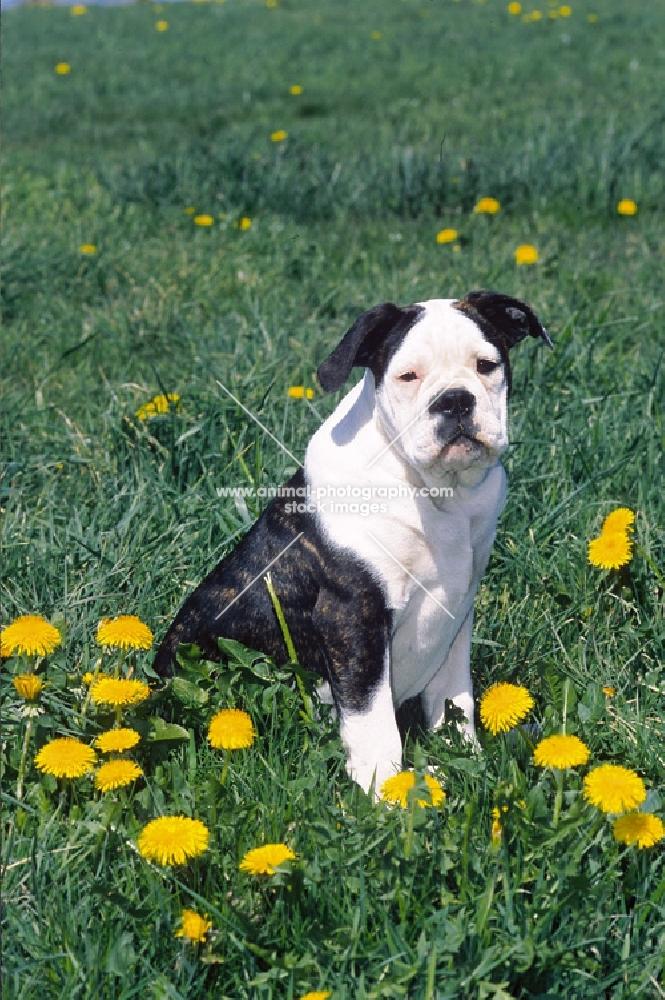 Old English Bulldog (Olde English Bulldogge)