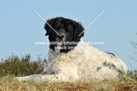 Wetterhound lying down
