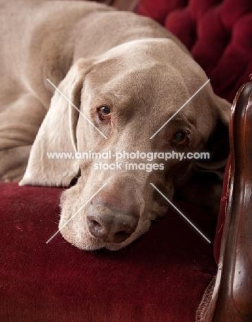 Weimaraner resting his head