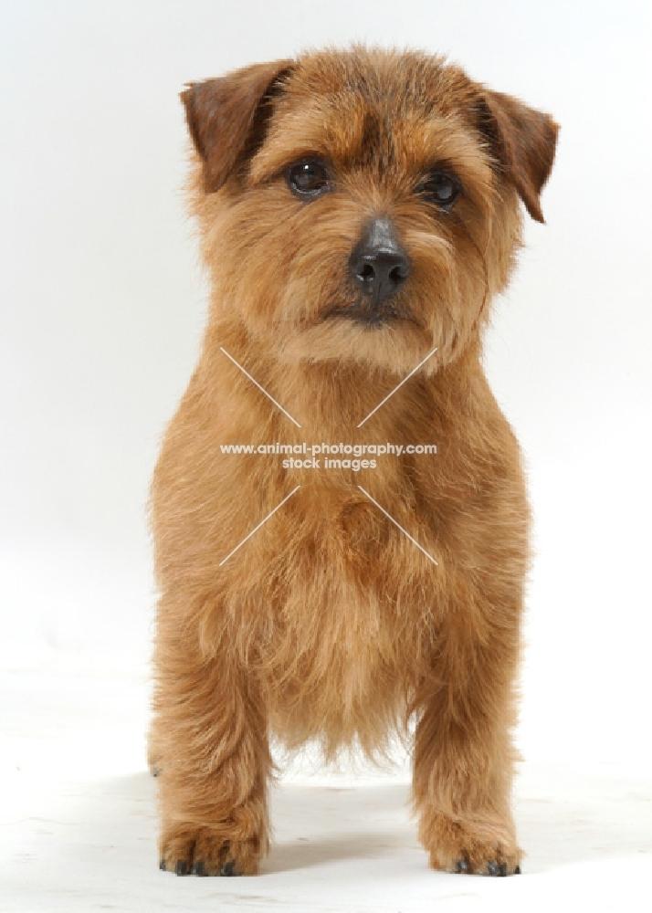 INT.NWY.SWD.DAN.FIN.NOR.Australian Champion Norfolk Terrier, front view