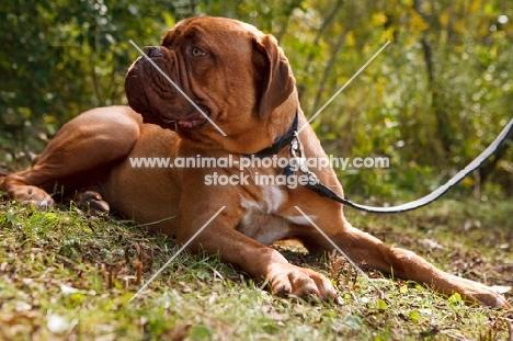 dogue de bordeaux on lead, looking away