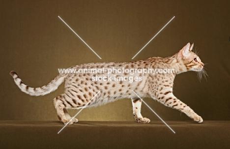 Ocicat walking in studio