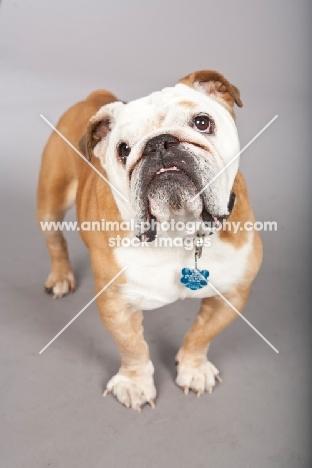 Bulldog on gray background