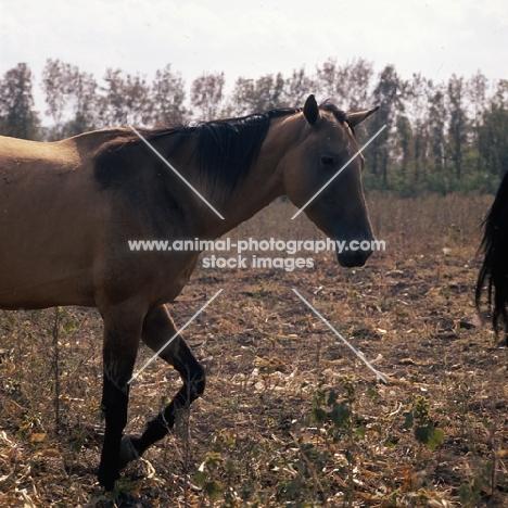 akhal teke mare at Tersk Stud Farm, Stavropol
