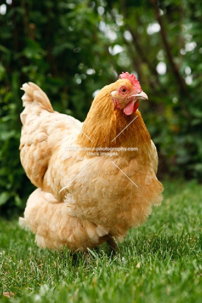buff orpington chicken on grass