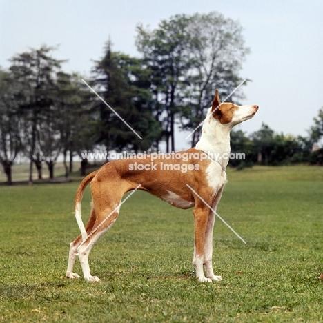 ibizan hound standing on grass