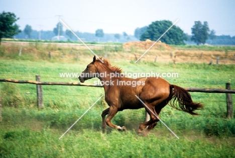 hanoverian mare running in a field