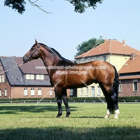 hanoverian stallion at celle