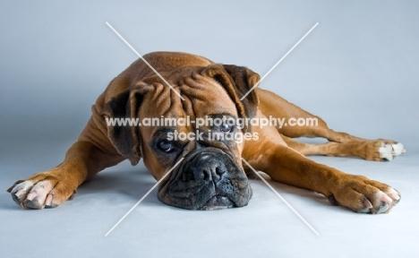 Boxer lying in studio