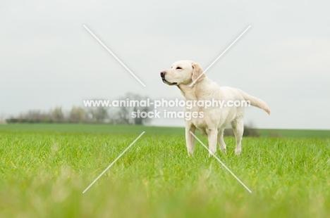 Pet Labrador standing in crop field