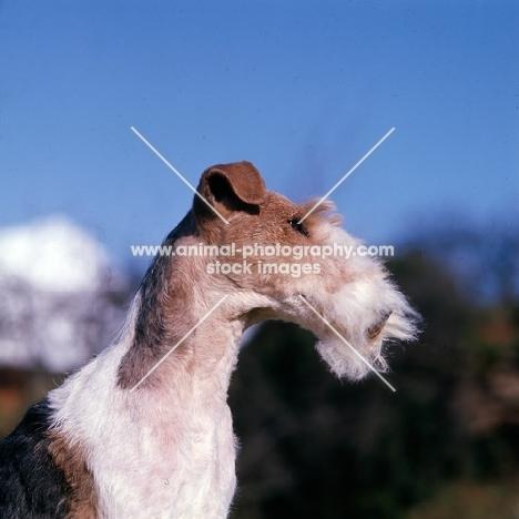 ch brookewire brandy of layven,  wire fox terrier bis crufts 1975 head study