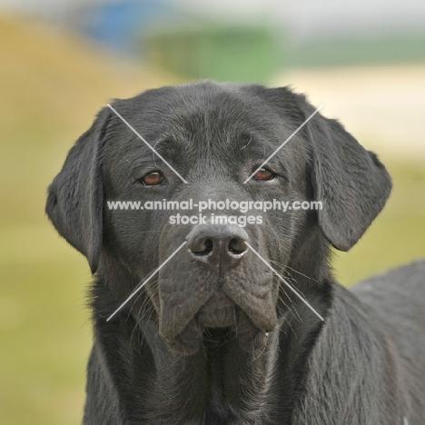 Labrador Retriever head shot looking towards camera