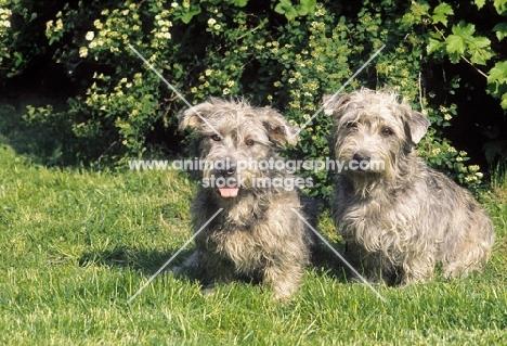 Irish Glen of Imaal Terrier pair