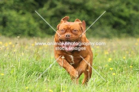 Dogue de Bordeaux running