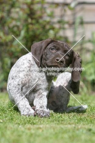 German Shorthaired Pointer puppy, scratching