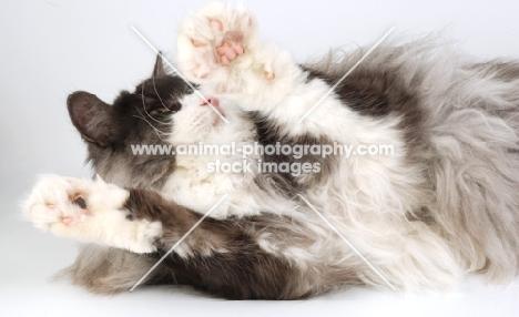 norwegian forest cat, black white and smoke