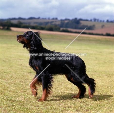 Gordon Setter on a countryside walk