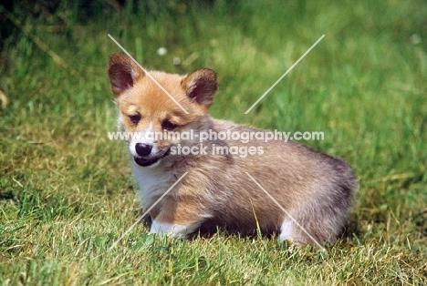 pembroke corgi puppy looking sweet