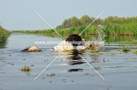 Wetterhound crossing water