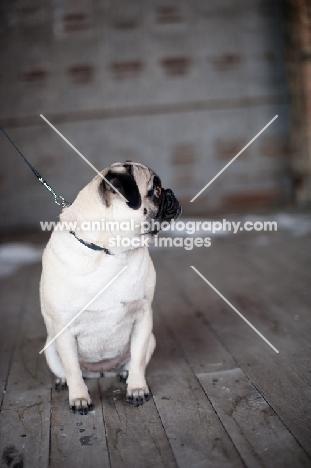 fawn Pug on wooden floor