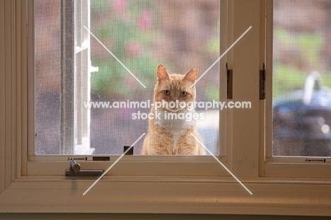 Orange tabby cat looking in through window