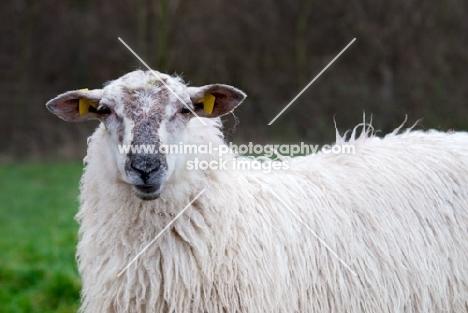 mergelland ewe in Limburg, The Netherlands