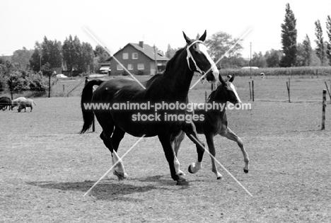 gelderland mare and foal in holland