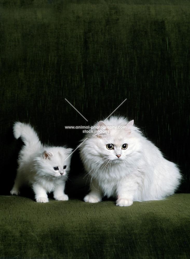 ch shengo eleiza, chinchilla cat and kitten