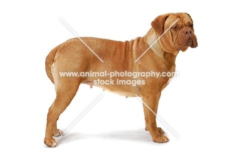 Dogue de Bordeaux standing posed