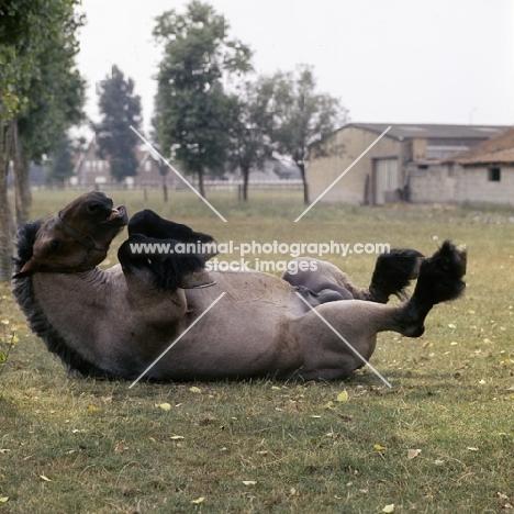 Jupiter de St Trond, belgian heavy horse rolling