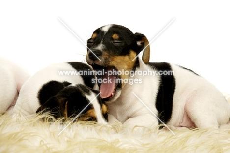 Yanwing Jack Russell puppy