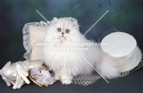 soft Chinchilla ready to go to a wedding