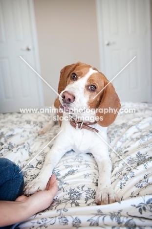 "lemon beagle doing ""shake"" trick"