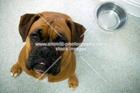 Boxer looking up at camera waiting for food