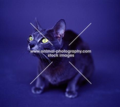 Korat cat sitting in studio on blue infinity curve