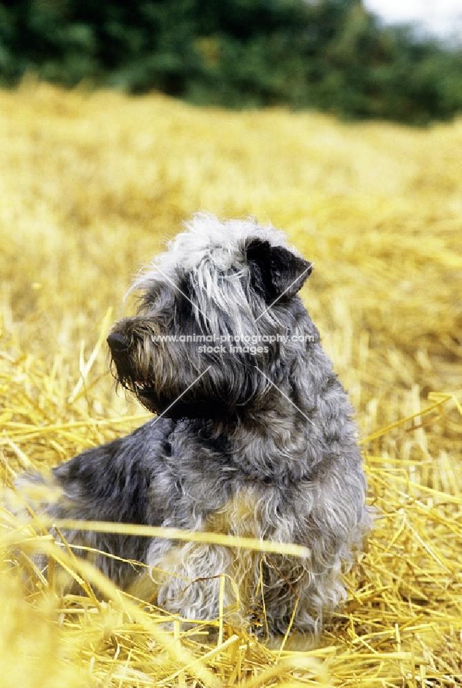 glen of imaal terrier, malsville moody blue of farni, sitting in straw
