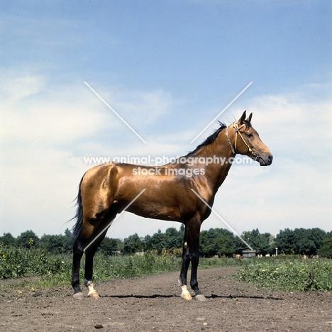 akhal teke stallion, metallic colour, with jewelled collar at piatigorsk hippodrome