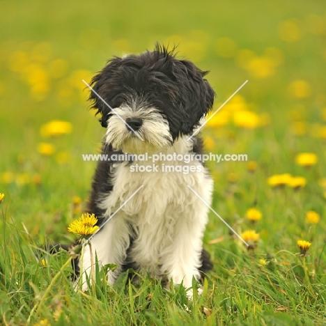 black and white Tibetan Terrier puppy
