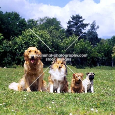 best service 261a6 1567f golden, sheltie, norfolk terrier and pug together