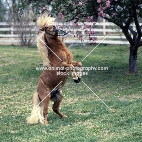 American miniature horse rearing, shadyacres jonko