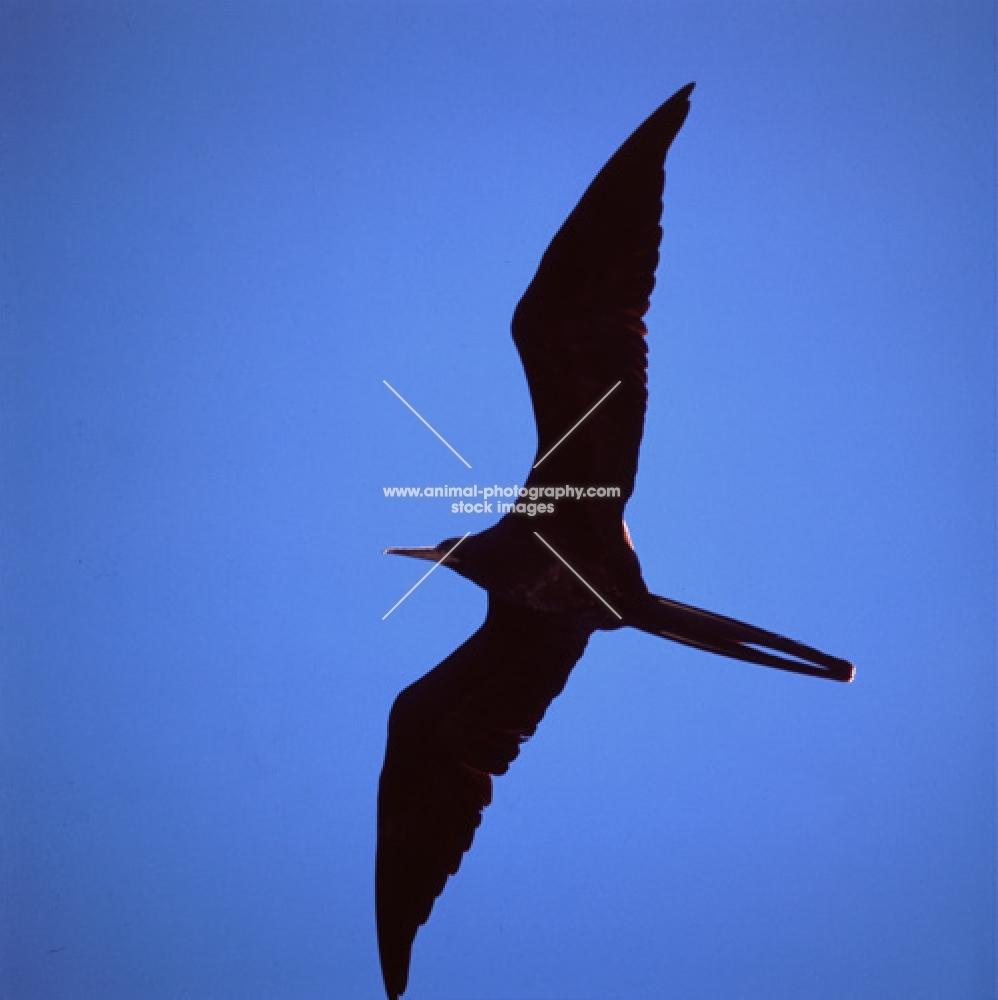 close up of great frigate bird flying off punta espinosa, fernandina island, galapagos islands