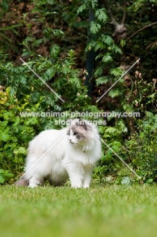 Ragdoll cross Persian in garden