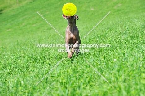 young Weimaraner retrieving frisbee